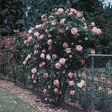 Queen Elisabeth rose - kwitnie całe lato