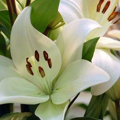 Lilium blanco #lilium #liliumblanco #floresblancas #flores #moonflowerartefloral