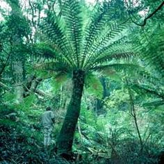 Wide-spread species growing from south-eastern Queensland, throug… - Modern Dicksonia Antarctica, Tree Fern, Outdoor Furniture Plans, Australian Garden, Shade Trees, Landscaping Plants, Native Plants, Trees To Plant, Cactus Plants