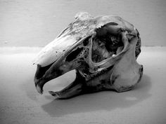 my hare skull, black and white photography, taxidermy