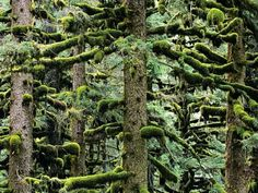 Spruce Trees, AlaskaPhoto: Michael Melford  Untouched wilderness is everywhere in Alaska. Spruce trees on Kodiak Island are almost entirely covered in soft moss.