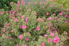 Image result for cistus purpureus Side Borders, Garden, Plants, Image, Garten, Lawn And Garden, Gardens, Plant, Gardening