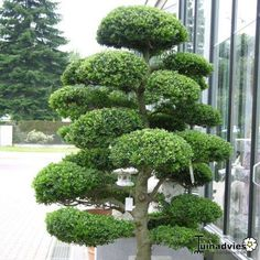 Ever wondered how Mr Miyagi used to keep his bonsai trees so beautifully neat? Then read our complete bonsai tree growing guide at Love The Garden! Modern Japanese Garden, Japanese Plants, Modern Garden Design, Chinese Garden, Backyard Garden Design, Contemporary Garden, Hydrangea Annabelle, Cloud Pruning, Gothic Home
