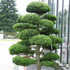 Japanse Hulst (Ilex crenata)
