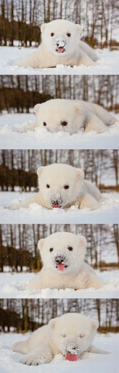 Funny pictures about Baby Polar Bear Enjoying The Snow. Oh, and cool pics about Baby Polar Bear Enjoying The Snow. Also, Baby Polar Bear Enjoying The Snow photos. Cute Creatures, Beautiful Creatures, Animals Beautiful, Cute Baby Animals, Funny Animals, Baby Polar Bears, Polar Cub, Tier Fotos, Cute Animal Pictures