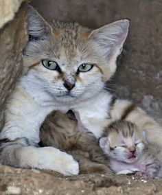 It's a special delivery for a super rare sand cat! (There are only 116 sand cats in the world.)