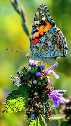 Fotografie – Pin's Page Butterfly Pictures, Butterfly Flowers, Butterfly Wings, Mariposa Butterfly, Picture Of A Butterfly, Flying Flowers, Butterfly Kisses, Butterfly Design, Beautiful Bugs