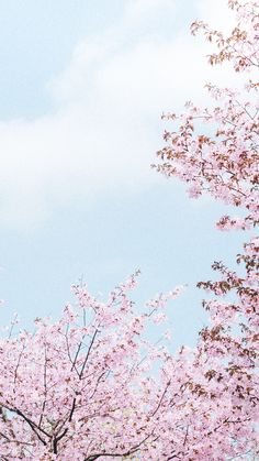 A cherry blossom wallpaper you can use to brighten up your phone. Sakura Wallpaper, Cherry Blossom Wallpaper, Flower Iphone Wallpaper, Flower Background Wallpaper, Tumblr Wallpaper, Flower Backgrounds, Wallpaper Backgrounds, Aesthetic Pastel Wallpaper, Aesthetic Wallpapers