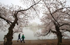 Washingtons cherry blossoms bloom despite cold snapA mild...  Washingtons cherry blossoms bloom despite cold snap  A mild winter followed by a spate of cold weather in Washington made its mark on the citys cherry blossoms but the annual festival delighted first-time visitors on Sunday. The cherry blossom trees were a gift from Japan to the United States in 1912. The cherry blossom trees currently grow in three National Park Service locations including the Tidal Basin Hains Point and on the…