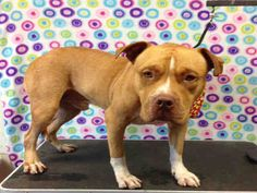 CLIFFORD - URGENT - Los Angeles Animal Services: West Valley Shelter in Chatsworth, CA - ADOPT OR FOSTER - 2 year old Male Am. Staffordshire Terrier - at shelter since August 31, 2016