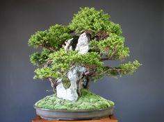 Spruce / świerk  bonsai YamaFutoshi sklep internetowy
