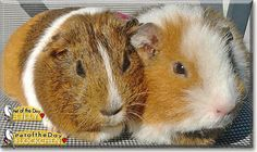 Read Lilly & Flöckchen's story the Guinea Pigs from Germany and see their photos at Pet of the Day http://PetoftheDay.com/archive/2015/February/16.html