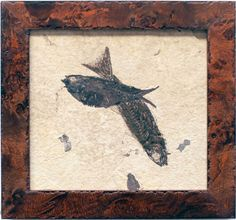 """Two Knightia, """"Gemini"""" Fish plate professionally framed in a burl veneer to accent the natural tones of the fossil as it was found in matrix. This pair has been entwined since 52 MYA. You may also be interested in reading about this fossil in the book by Lance Grande, The Lost World of Fossil Lake."""