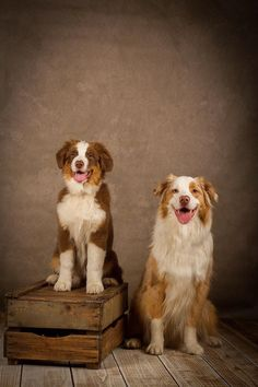 Baby Animals, Cute Animals, Body Picture, Australian Shepherds, Aussies, Dog Pictures, Dog Lovers, Dog Cat, Friends