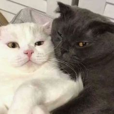 Kittens Cutest, Cats And Kittens, Cute Cats, Funny Cats, Baby Cats, Baby Animals, Cute Animals, Cat Couple, Cat Aesthetic