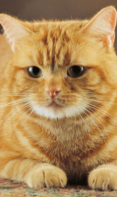 Scientists have found that different genetic combinations can affect the color, pattern, and length of a cat's fur. But what does that mean for orange cats? Are all orange cats male? Orange Tabby Cats, Red Cat, Yellow Cat, Cute Cats And Kittens, Kittens Cutest, Ragdoll Kittens, Funny Kittens, Baby Kittens, Big Cats