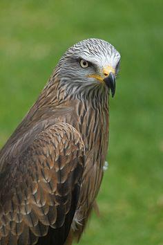 / Black kite / Milvus migrans /  Milan à bec jaune