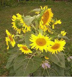 Sunflower Women