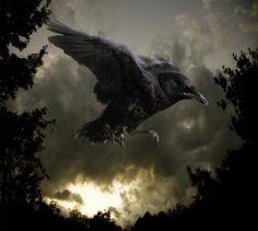 Valerie Shaff - Baby Crow