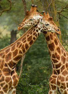 Giraffe Love!!