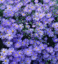 Buy Aster x frikartii 'Mönch' from Sarah Raven: This Michaelmas daisy has lovely bright lavender-blue flowers around golden hearts. Pollinators love them. Lavender Garden, Blue Garden, Lavender Blue, Autumn Garden, Home Flowers, Purple Flowers, Purple Plants, Flower Garden Plans, Flowers Garden