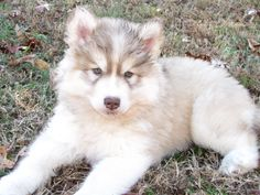 Goberain = Siberian Huskey + Golden Retriver ~ Gorgeous!