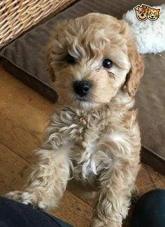 Gorgeous Cockapoo puppies available now | Market Drayton, Shropshire | Pets4Homes