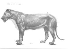 Lion anatomy -  Muscles