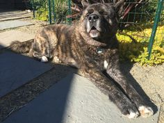 Japanese Akita, Bear Attack, American Akita, Inu, I Am Awesome, Best Friends, Wildlife, Lovers, Puppies