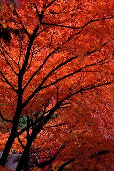 Autumn - Japanese Maple (Acer palmatum) 'Nishiki Momiji'