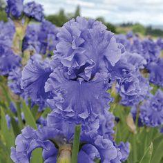 Sea Power Tall Bearded Iris