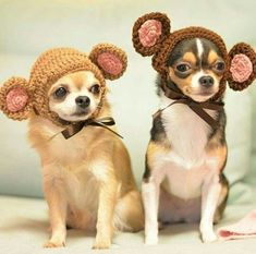 """Look at these adorable """"Monkeyhuahua's"""" =) #Chihuahua"""