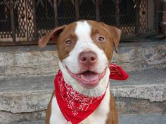 TO BE DESTROYED 7/8/14 Brooklyn Center -P  My name is PYP. My Animal ID # is A1004989. I am a male brown and white pit bull mix. The shelter thinks I am about 7 YEARS old.  I came in the shelter as a STRAY on 06/28/2014 from NY 11207, owner surrender reason stated was STRAY.