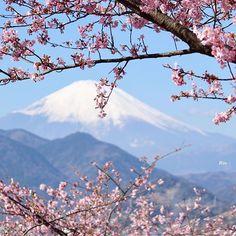 【smileoflily】さんのInstagramをピンしています。 《おはようございます😊 ・ ・ 河津桜が咲き始めてました🌸🌸🌸 ・ 菜の花とのコラボが楽しめるまであと少し ・ ・ 楽しい日曜日をお過ごし下さいませ♡◡̈⃝⋆* ・ Have  a  nice  Sunday 😊💖 ・ ・ 2017.2.5 ・ ・ Thanks  a  lot  dear  @7flowers_1day  for  featuring  my  sunflower  photo 🌻🌻🌻 I  really  appreciate  it 😊💖 * * * #神奈川 #松田山ハーブガーデン #河津桜#cherryblossoms#富士山 #ザ花部 #はなまっぷ #wp_flower  #wp_まっぷ花まつり #whim_life  #tv_flowers #flowerstalking  #team_jp_ #Airy_pics #myheartinshots  #backyard_dreams #splendid_flowers #Flowers2sky…