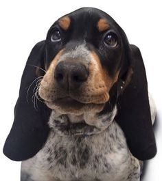 Tumaco; cachorro de 4 meses de sabueso fino colombiano. Sardo tricolor…