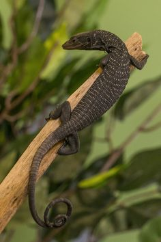 The rare Black Tree Monitor, native to the Aru Islands off the coast of Papua New Guinea