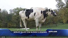 Whoooaaa! Holy 6 foot cow!