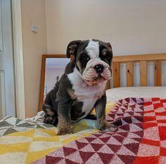 The Dignified Bulldog Puppy Temperament Black English Bulldog, English Bulldog Pictures, English Bulldog Funny, English Bulldog Puppies, English Bulldogs, Puppy Food, Boston Terrier, Cute, Animals