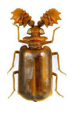 Lebioderus percheronii é uma espécies de besouros da família de besouros do solo (Carabidae)