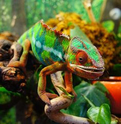An amazing photo of a panther chameleon.