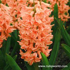 "This beautiful orange hyacinth is sure to be an ""eye-catcher"" in any garden! It's light salmon blooms are highlighted with rose and apricot, making it a wonderful contrast to many other colors in the garden. This hyacinth, like others, is very. Hyacinth Flowers, Deer Resistant Garden, Spring Flowering Bulbs, Bulb Flowers, Fall Flowers, Planting Bulbs, Perennials, Plants, Fall Plants"