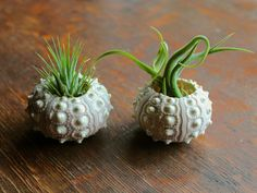 Head over to our Facebook page for a chance to win this air plant duo! #airplant #giveaway
