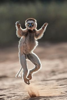 Dale Morris, the photographer managed to get very close to the charismatic marsupials, which are endemic to Madagascar.    A close up of a young lemur leaping across the ground in Madagascar, Africa.