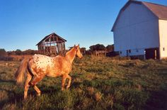 Chinook in the Evening Light c2008 / Appaloosa Horse PHOTO BY Melanie Petridis / October / The old Hines' Bank Barn, Miller Road, Slippery Rock, Butler County, Pennsylvania