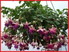age fuchsia hanging basket, care for fuschia hanging baskets, plant fuschia hanging basket, jenis tanaman hias merambat, tanaman hias gantung murah, tanaman hias gantung minimalis, tanaman hias gantung berbunga, fuchsia dying, fuchsia color, fuchsia dark eyes