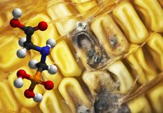A new study reveals that Roundup herbicide enhances the growth of aflatoxin-producing fungi, lending an explanation for the alarming increase in fungal toxins recently discovered in U.S corn, and revealing another way in which GM farming is seriously undermining food quality.