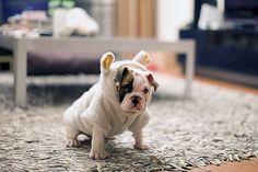 Bulldog in a bunny costume.