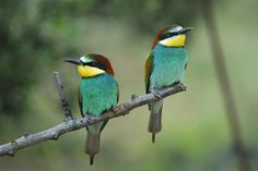 birds,wildlife,bee-eaters,animals, horizontal, outdoors, nature, exterior, europe, photography, spain, animals