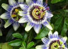 Botanical Name of Passion Flower: Passiflora incarnata . Other Common Names: Maypop, passiflora, passionflower. Vine House Plants, Home Garden Plants, Natural Remedies For Insomnia, Or Violet, Yellow Fruit, Climbing Vines, 1 Live, Flowering Vines, Passion Flower