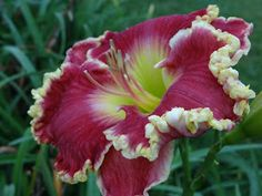 Daylilly called 'born to run', by a girl and her garden: Fabulous and Falling into Fall. Exotic Flowers, Tropical Flowers, Beautiful Flowers, Hawaiian Flowers, Cactus Flower, Purple Flowers, Garden Bulbs, Garden Plants, Vegetable Garden